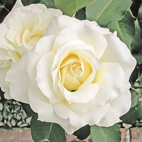 Роза чайно-гибридная Вайт Симфони