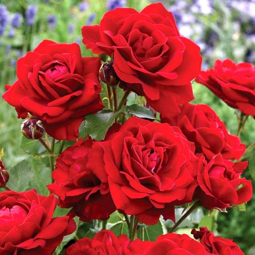 Роза флорибунда Блэк Черри изображение 1 артикул 2189