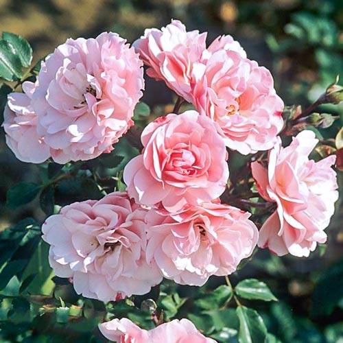Роза флорибунда Боника изображение 1 артикул 2211