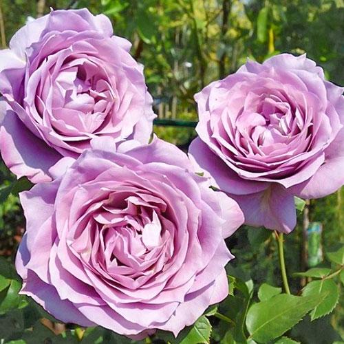 Роза чайно-гибридная Новалис изображение 1 артикул 2127