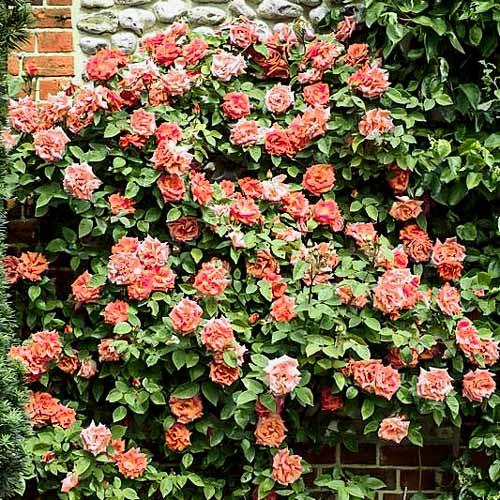Роза плетистая Алоха изображение 1 артикул 2149