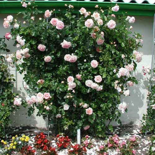 Роза плетистая Амаретто изображение 1 артикул 2152