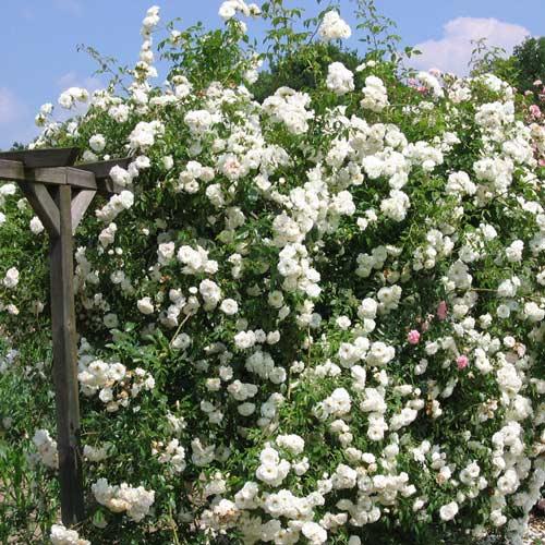 Роза плетистая Айсберг изображение 2 артикул 2148