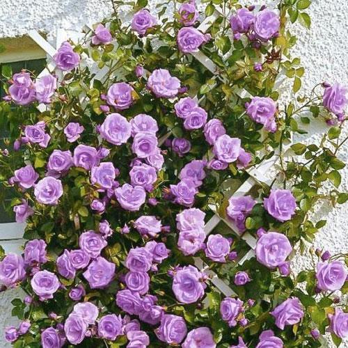 Роза плетистая Блю Мун изображение 1 артикул 2153