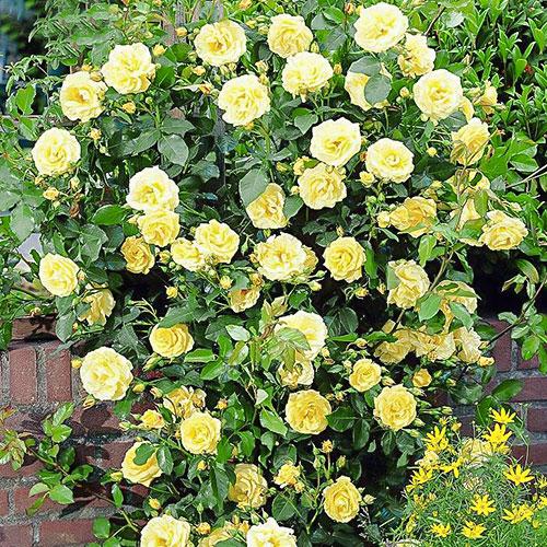 Роза плетистая Голден Шауэрс изображение 1 артикул 2157