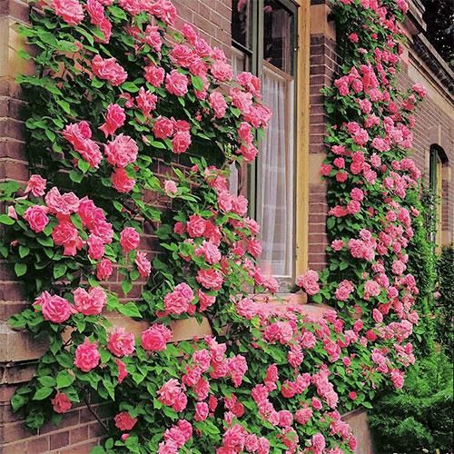 Роза плетистая Корал Доун изображение 1 артикул 2166