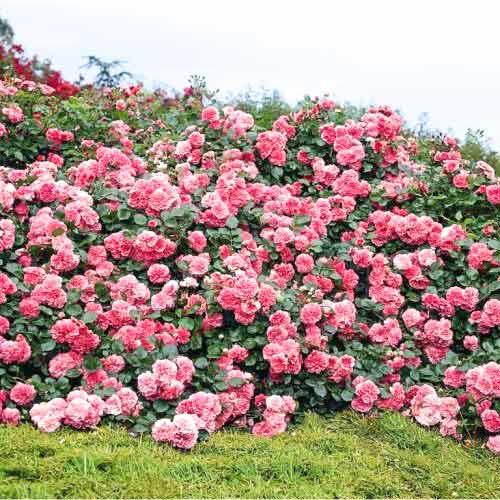Роза плетистая Пинк Мушимара изображение 1 артикул 2174