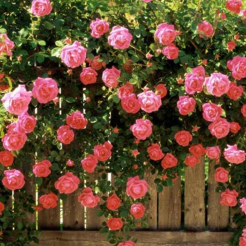 Роза плетистая Розовая жемчужина изображение 1 артикул 2181