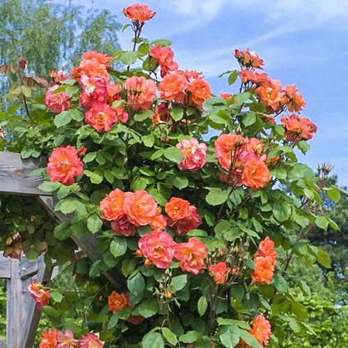 Роза плетистая Вестерленд изображение 1 артикул 2154
