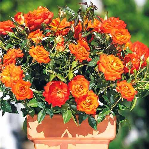 Роза спрей Мандарин изображение 1 артикул 2235