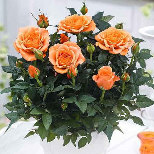 Роза спрей Оранж Бейби
