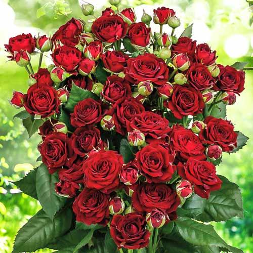 Роза спрей Ред Сенсейшн изображение 1 артикул 2239
