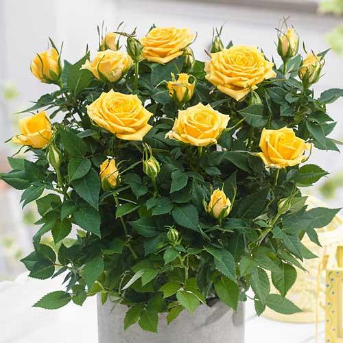 Роза спрей Санторини