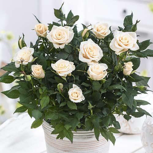 Роза спрей Сноу Дэнс изображение 1 артикул 2241
