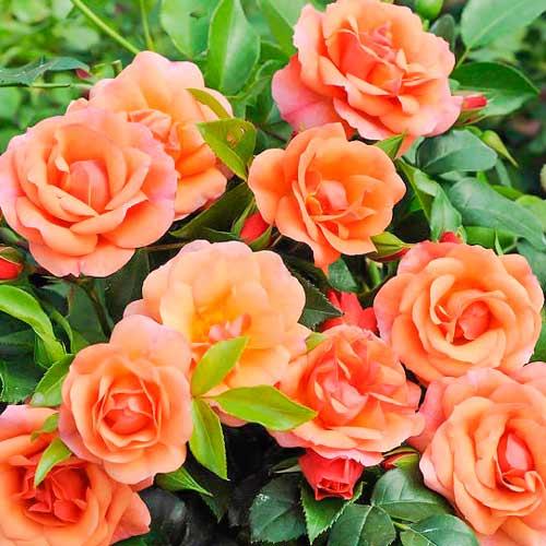 Роза флорибунда Априкола