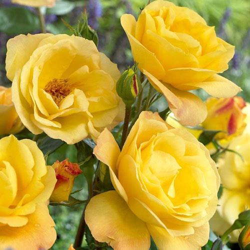 Роза флорибунда Артур Белл изображение 1 артикул 2188
