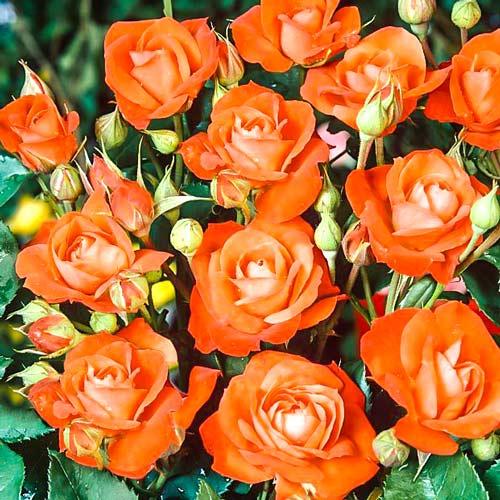 Роза флорибунда Оранж Сенсейшн изображение 1 артикул 2197