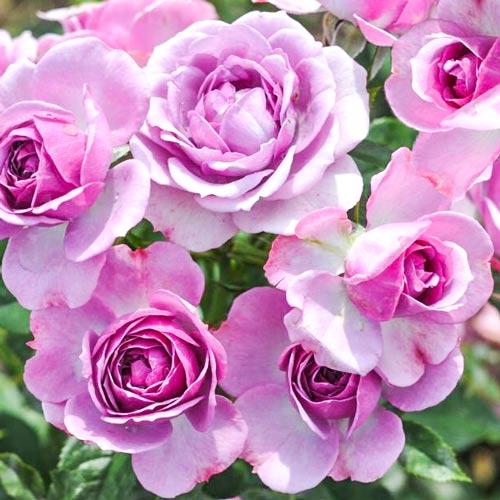 Роза флорибунда Пинк Диадем изображение 1 артикул 2198