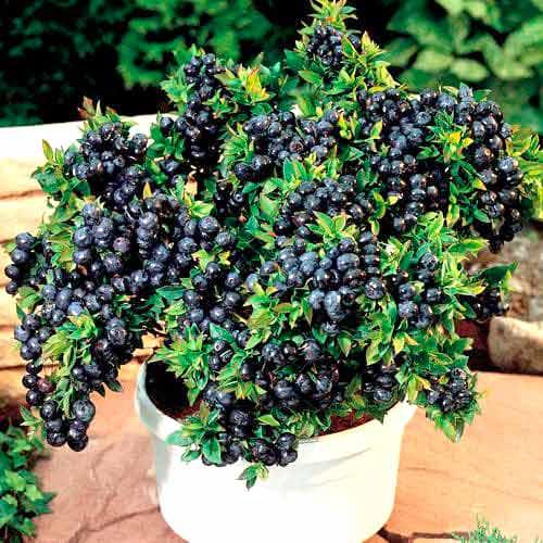 Черника садовая Топ Хат
