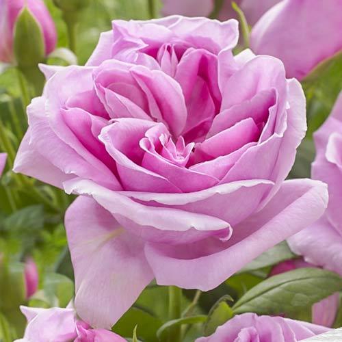 Роза чайно-гибридная Липарфюм