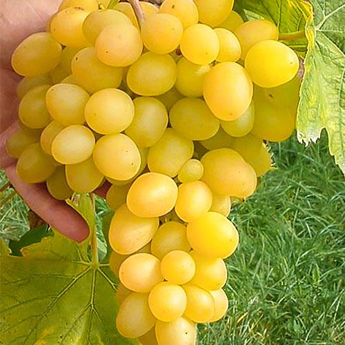 Виноград Макси белый