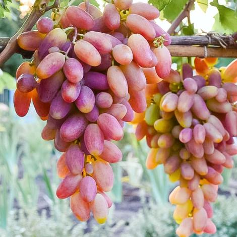 Виноград Преображение изображение 1 артикул 7324