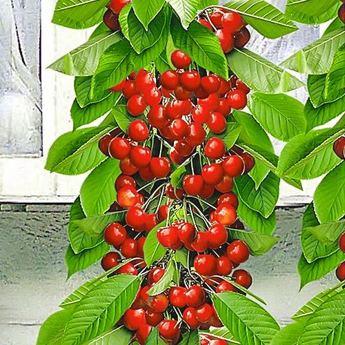 Черешня колоновидная красная
