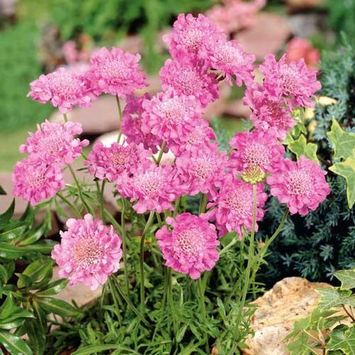 Скабиоза японская Бриллиант розовая изображение 1 артикул 71586