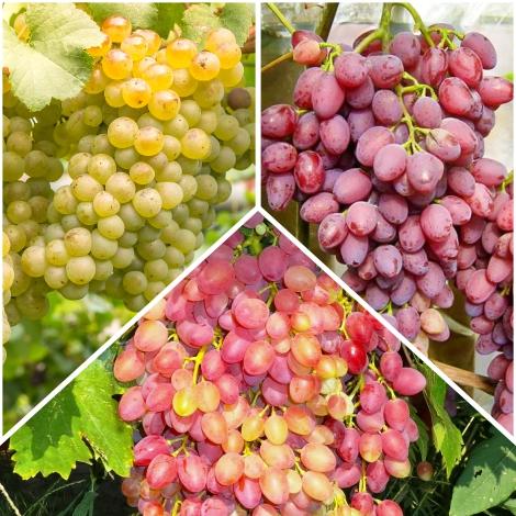 Суперпредложение! Комплект бессемянного винограда из 3 сортов изображение 1 артикул 7330