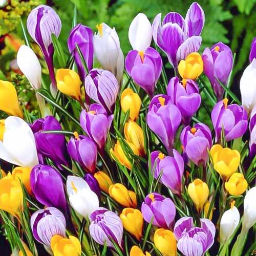 Суперпредложение! Комплект ботанических крокусов, микс из 35-ти луковиц изображение 1 артикул 67911