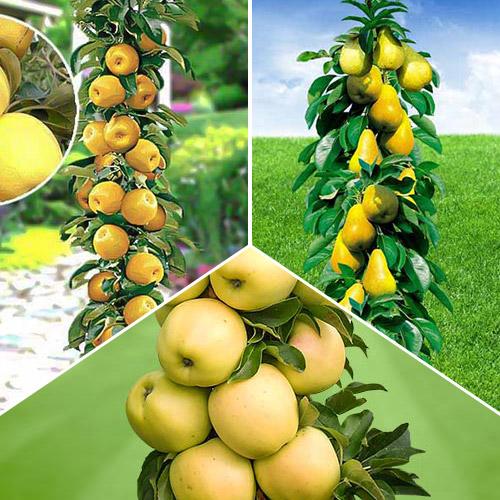 Суперпредложение! Комплект колоновидных деревьев Осенняя удача из 3 саженцев изображение 1 артикул 1935