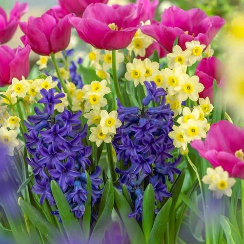 Суперпредложение! Комплект нарциссов, тюльпанов, гиацинтов из 20-ти луковиц изображение 1 артикул 67905
