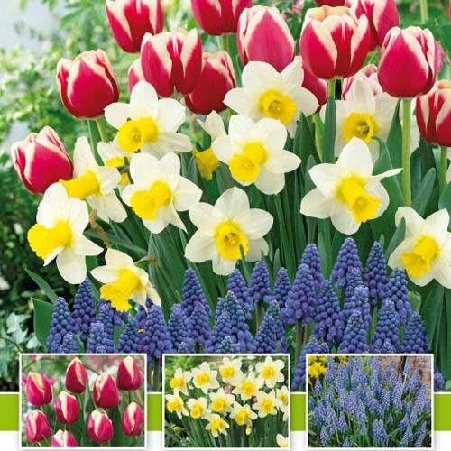 Суперпредложение! Комплект нарциссов, тюльпанов, мускари из 30-ти луковиц изображение 1 артикул 67542