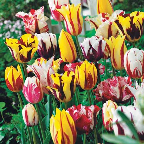 Суперпредложение! Комплект тюльпанов Грация изображение 1 артикул 67558