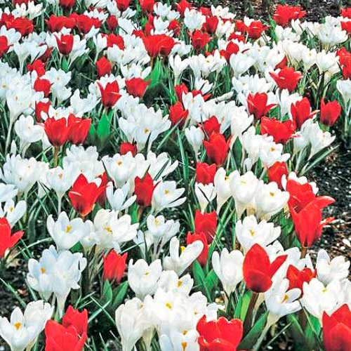 Суперпредложение! Комплект тюльпанов, крокусов из 2-х сортов изображение 1 артикул 67543