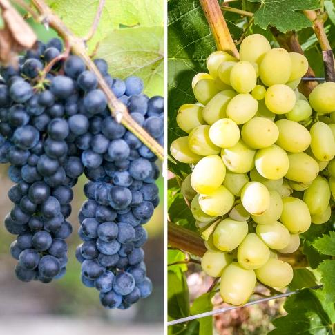 Суперпредложение! Комплект винограда Гиганты из 2-х сортов изображение 1 артикул 7332