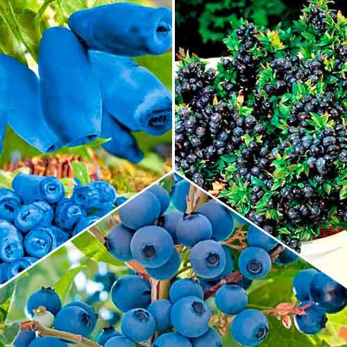 Суперпредложение! Комплект Вкусные ягоды из 3 саженцев изображение 1 артикул 9255