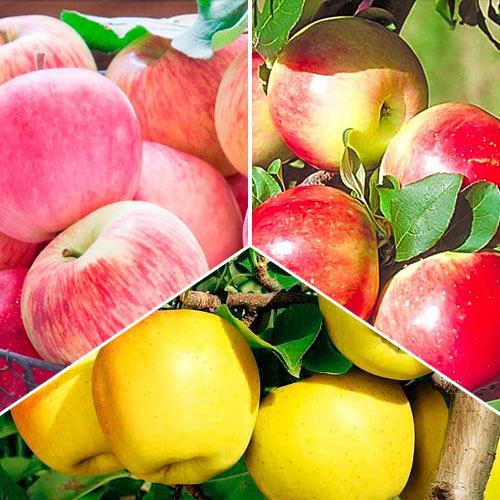 Суперпредложение! Комплект Яблочный сад из 3 саженцев: изображение 1 артикул 7942