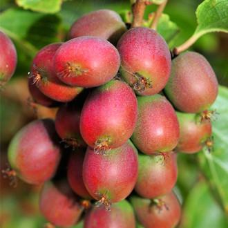 Мини-киви (актинидия) Пурпурная
