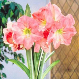 Амариллис (гиппеаструм) Сьюзан изображение 6