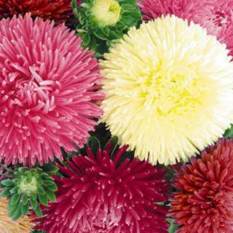 Астра Леди Корал Танго, смесь окрасок изображение 8