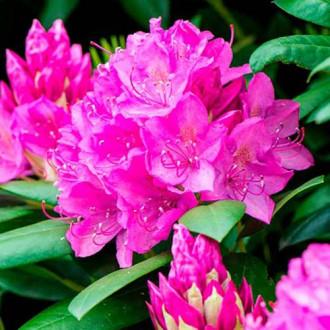 Азалия японская Пурпуртраум