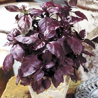 Базилик Карлик фиолетовый изображение 6