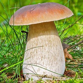 Белый гриб изображение 1
