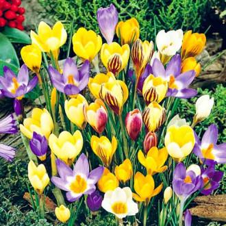Крокус ботанический, микс изображение 7