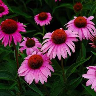 Эхинацея пурпурная Брайт Роуз изображение 6