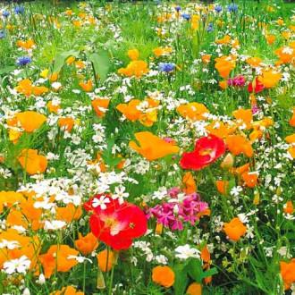 Газон цветущий Гольф Аристократ, смесь окрасок изображение 8