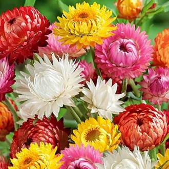 Гелихризум Великолепный, смесь окрасок изображение 1