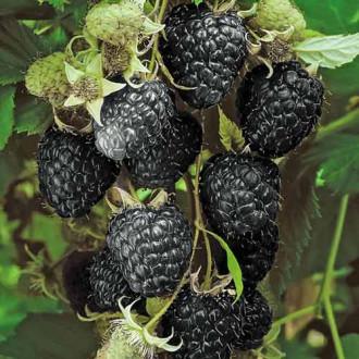 Малина черная Блэк Джевел изображение 8