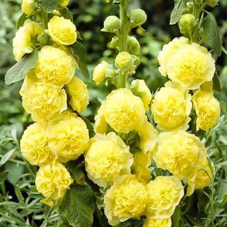 Мальва Желтая королева изображение 2
